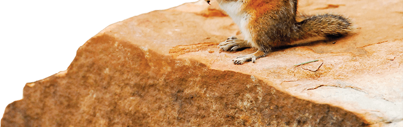 Arizoina chipmunk